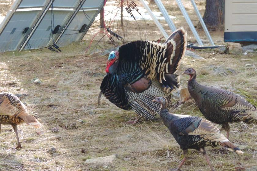 turkey 9