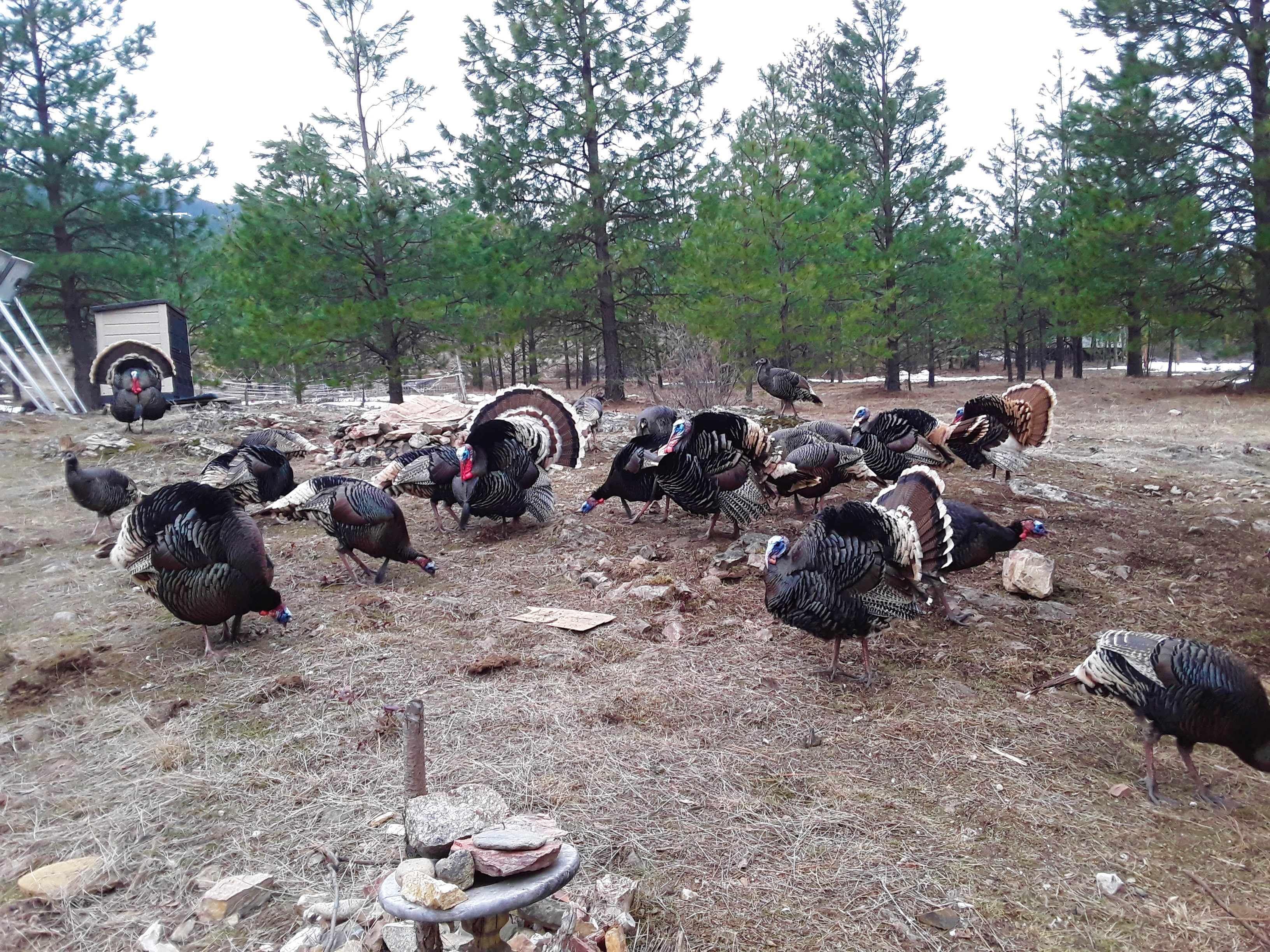 turkeys 12